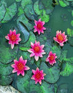 Nymphaea-Pygmaea-(Rode-waterlelie)