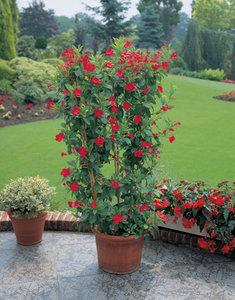 dipladenia rood kopen dipladenia rood bestellen en bezorgen home meets nature specialist in. Black Bedroom Furniture Sets. Home Design Ideas