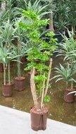 Polyscias Roble Vertakt Hydroplant kopen