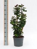 Aralia Polyscias Fabian Vertakt 120 Centimeter. Kamerplant kopen